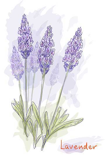 lavender-beauty-benefits-22