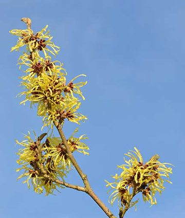 A branch of witch hazel