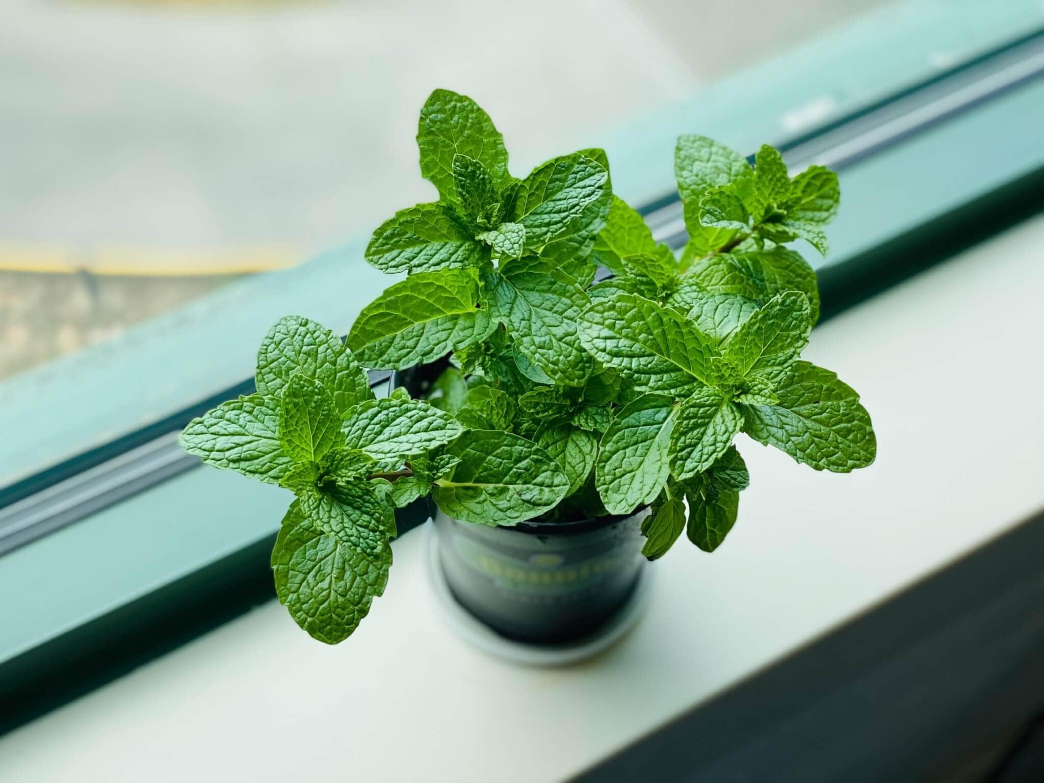 moroccan mint tea, moroccan mint tea benefits, how to make moroccan mint tea