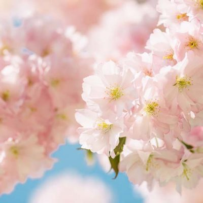 Cherry blossoms: The Japanese skincare secret that will give you the best complexion ever!